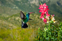 Broad-Billed Hummingbird 1371-Edit