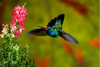 Broad-Billed Hummingbird 1355-Edit