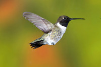 Black-Chinned Hummingbird 0935