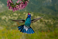 Broad-Billed Hummingbird  1389-Edit