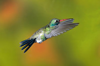 Broad-Billed Hummingbird 0927
